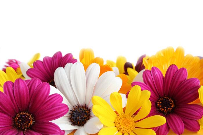ý nghĩa và biểu tượng hoa cúc