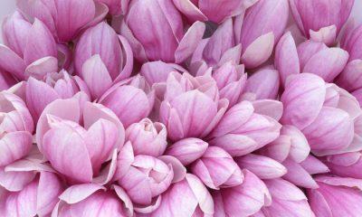 Ý nghĩa và biểu tượng của hoa mộc lan