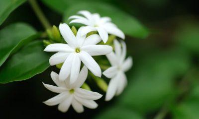 Ý nghĩa và biểu tượng hoa nhài