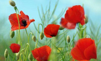 Ý nghĩa và biểu tượng hoa Anh Túc (Hoa Thuốc Phiện)