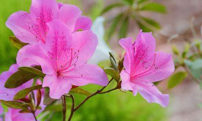 Ý nghĩa và biểu tượng hoa đỗ quyên