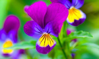 Ý nghĩa và biểu tượng hoa pansy – hoa cánh bướm – pansee