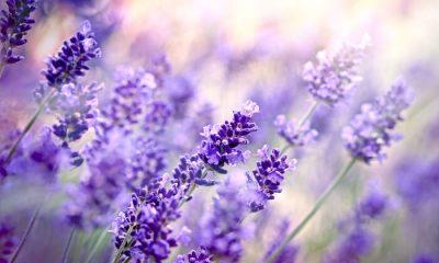 Ý nghĩa và biểu tượng hoa Oải Hương