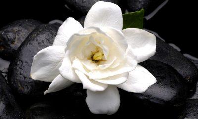 Ý nghĩa và biểu tượng hoa sơn chi