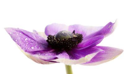 Ý nghĩa và biểu tượng hoa thu mẫu đơn