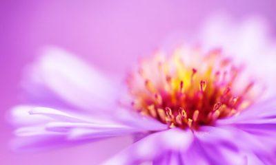 Ý nghĩa và biểu tượng hoa Thúy Cúc