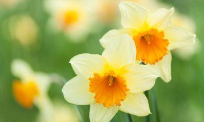 Ý nghĩa và biểu tượng hoa thủy tiên