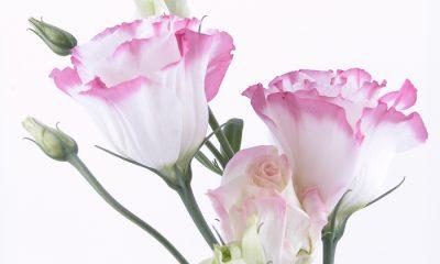 Ý nghĩa và biểu tượng hoa cát tường