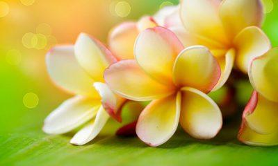 Ý nghĩa và biểu tượng hoa Chi Đại