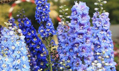 Ý nghĩa và biểu tượng hoa phi yến