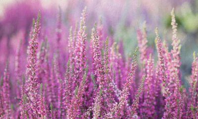 Ý nghĩa và biểu tượng hoa thạch thảo