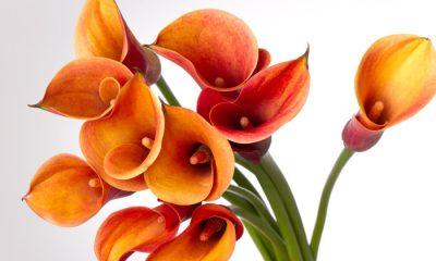 Ý nghĩa và biểu tượng hoa huệ calla