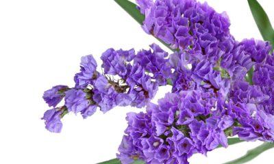 Ý nghĩa và biểu tượng hoa oải hương biển