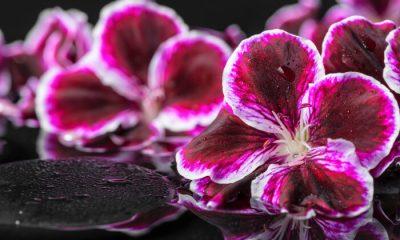 Ý nghĩa và biểu tượng hoa phong lữ