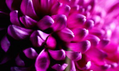 Ý nghĩa và biểu tượng hoa thược dược