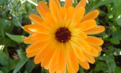 Ý nghĩa hoa Cúc tâm tư