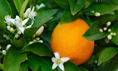 Ý nghĩa hoa cam