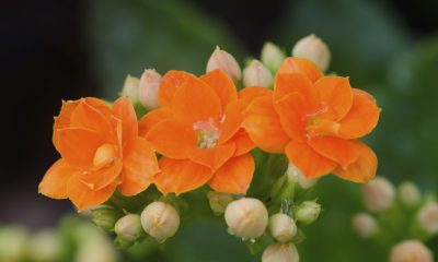 Ý nghĩa hoa lá bỏng