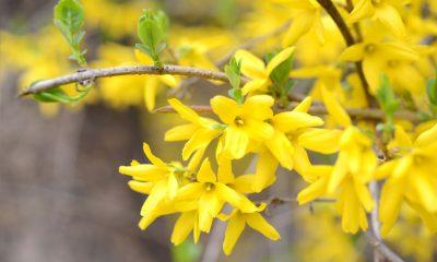 Ý nghĩa hoa Nghinh Xuân