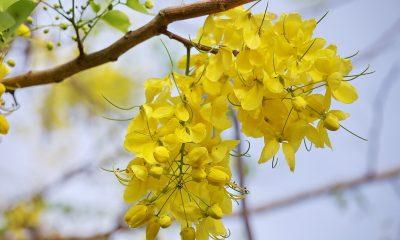 Ý nghĩa hoa Bò Cạp Vàng.