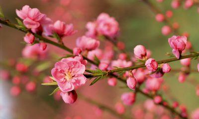 Ý nghĩa Hoa đào – loài hoa của bình an