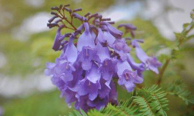 Ý nghĩa hoa Phượng tím – loài hoa thuỷ chung.