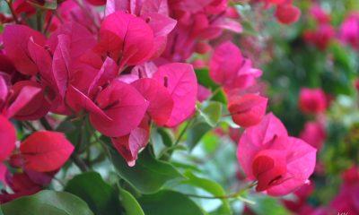 Ý nghĩa hoa Giấy – mong manh nhưng không dễ vỡ.