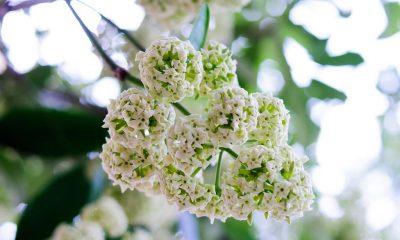 Ý nghĩa hoa Sữa – đặc trưng của mùa thu Hà Nội.