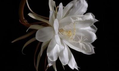 Ý nghĩa hoa Quỳnh – tinh tú bóng đêm