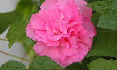 Ý nghĩa hoa Phù Dung – mong manh chóng tàn