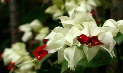Ý nghĩa hoa Ngọc Nữ – hoa thiếu nữ xuân thì