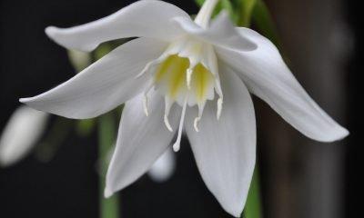 Ý nghĩa hoa Ngọc Trâm – Sự phồn vinh tuổi trẻ