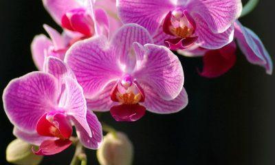 Ý nghĩa hoa Phong Lan – nét đẹp quý phái