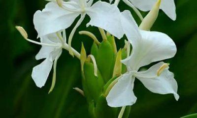 Ý nghĩa hoa Ngải Tiên – hương nước hoa Pháp